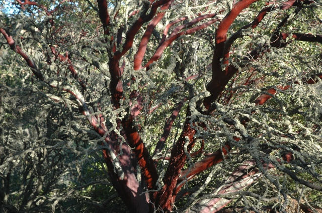 Madrone or manzanita tree