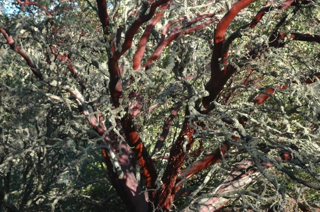 Madrone or manzanita tree