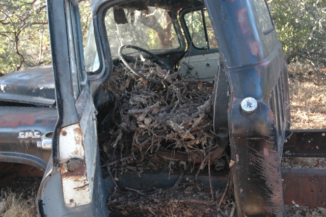 Dusky footed woodrat nest in an old tuck