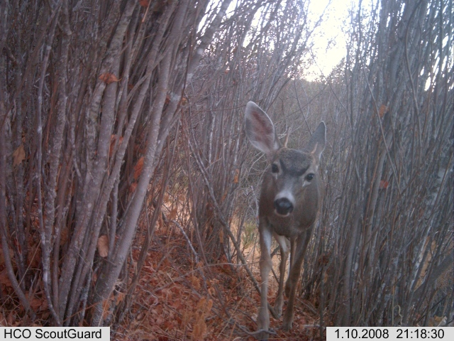 A young black-tailed deer buck
